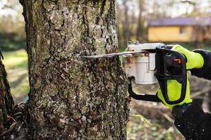 Arborist chopping down a large elm tree in the back yard of a house in Ladue, MO