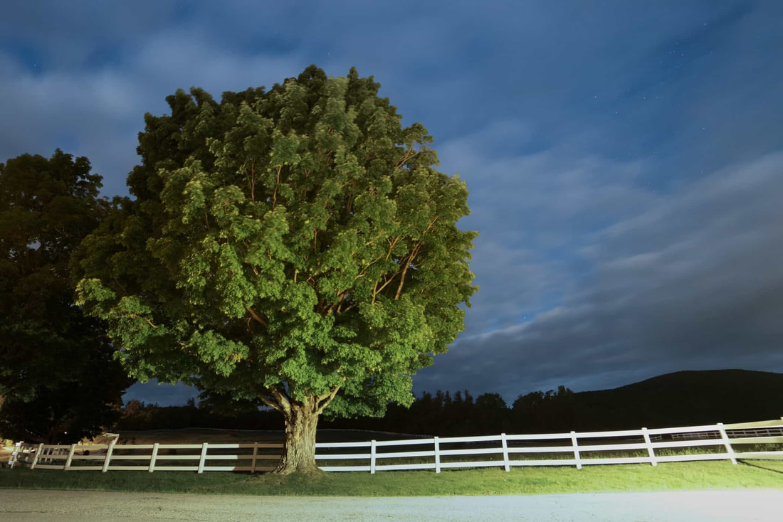 A large oak tree by a white fence